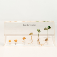 Bean germination